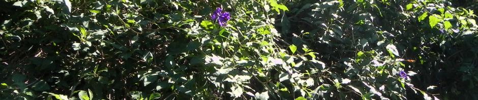 enzianstrauch-bluete-lila-lycianthes-rantonnetii