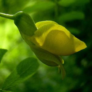 Erbsenstrauch Bluete gelb Caragana arborescens 03