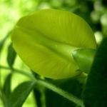 Erbsenstrauch Bluete gelb Caragana arborescens 05