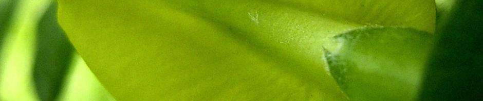 Anklicken um das ganze Bild zu sehen Erbsenstrauch Blüte gelb Caragana laeta