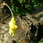Bild: Gemeiner Erbsenstrauch Blüte gelb Caragana arborescens