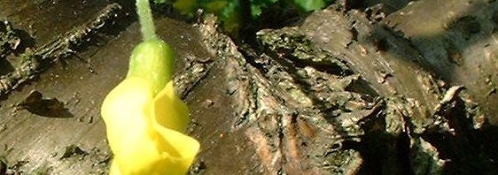 Anklicken um das ganze Bild zu sehen Gemeiner Erbsenstrauch Blüte gelb Caragana arborescens