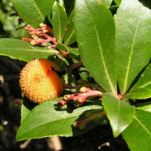 Erdbeerbaum Frucht rot Arbutus unedo 02