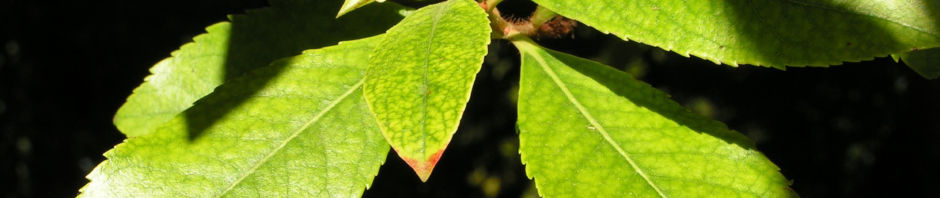 westlicher-erdbeerbaum-frucht-orange-arbutus-unedo