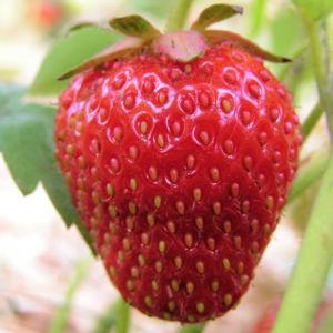 Erdbeere Frucht rot Fragaria 01