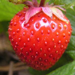 Erdbeere Frucht rot Fragaria 06