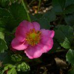 Bild: Garten-Zier-Erdbeere Blüte lila Fragaria x ananassa