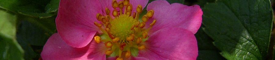 Anklicken um das ganze Bild zu sehen Garten-Zier-Erdbeere Blüte lila Fragaria x ananassa