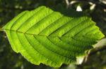 Erle Blatt gruen Alnus glutinosa 01
