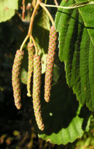 Erle Blatt gruen Alnus glutinosa 02