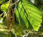 Erle Blatt gruen Alnus glutinosa 03