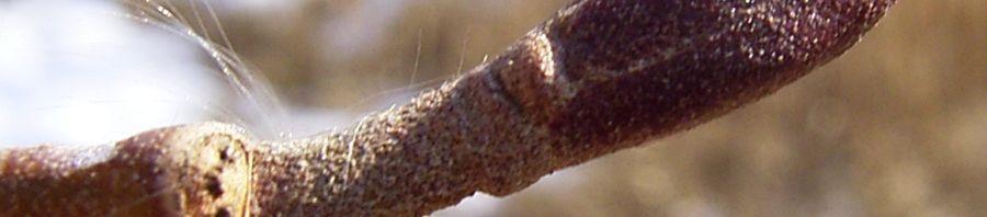 Anklicken um das ganze Bild zu sehen Erle Knospe braun Alnus