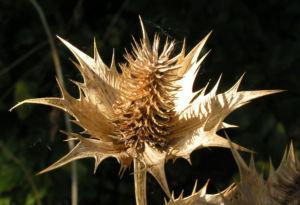 Eryngium Stachel braun Eryngium giganteum 01