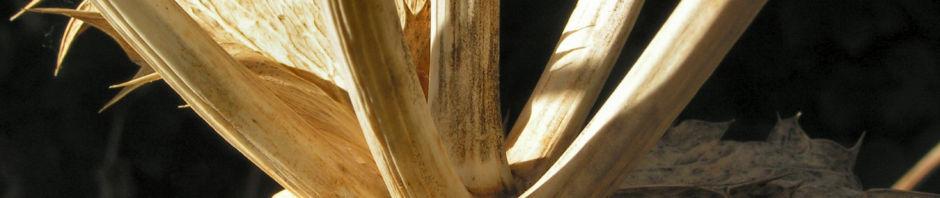 riesen-mannstreu-stachel-braun-eryngium-giganteum