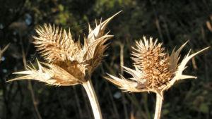 Eryngium Stachel braun Eryngium giganteum 04
