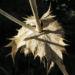 Zurück zum kompletten Bilderset Riesen-Mannstreu Stachel braun Eryngium giganteum