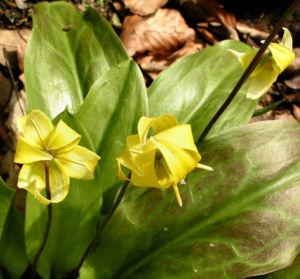 Erythronium Hybride Bluete gelb Erythronium Hybride 03