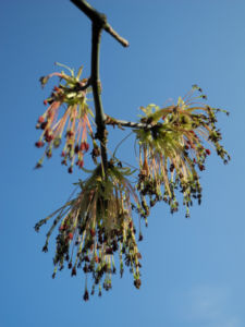 Eschenblaettriger Ahorn Bluete rot gruen Acer negundo 00