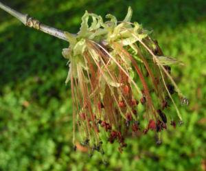 Eschenblaettriger Ahorn Bluete rot gruen Acer negundo 0 1
