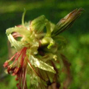 Eschenblaettriger Ahorn Bluete rot gruen Acer negundo 02