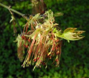 Eschenblaettriger Ahorn Bluete rot gruen Acer negundo 0 2