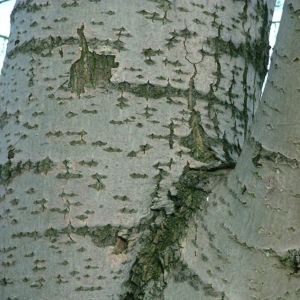Espe Rinde Populus tremula 10