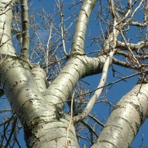 Espe Rinde Populus tremula 12