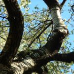 Bild: Espe Zitterpappel Rinde grau Blatt grün Populus tremula