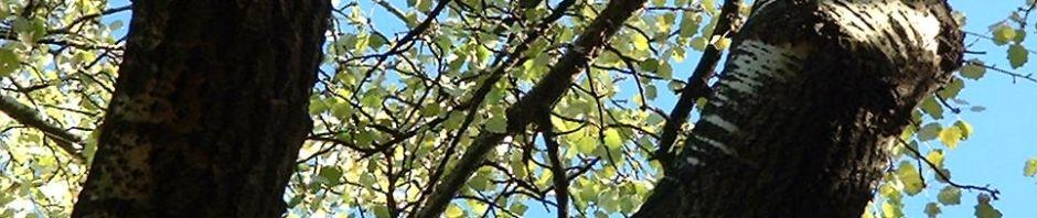Anklicken um das ganze Bild zu sehen Espe Zitterpappel Rinde grau Blatt grün Populus tremula