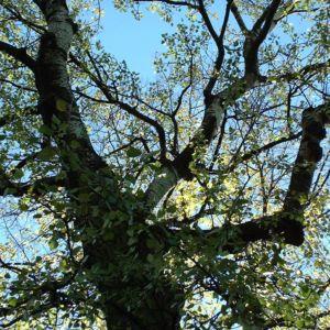 Espe Zitterpappel Populus tremula 04