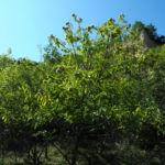 Ess Kastanie Baum Castanea sativa 01