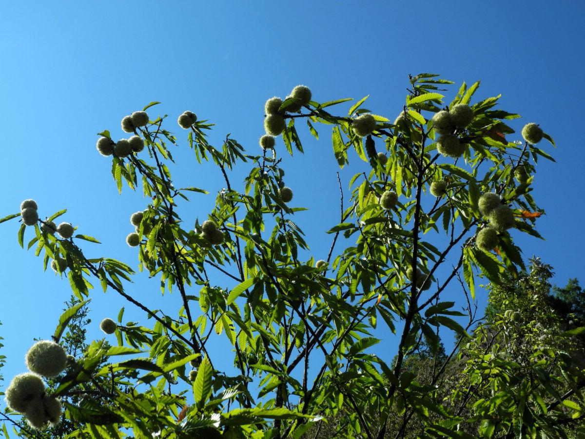 Ess Kastanie Baum Castanea sativa