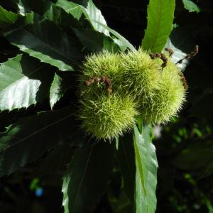 Ess Kastanie Frucht braun gruen stachelig Castanea sativa 01