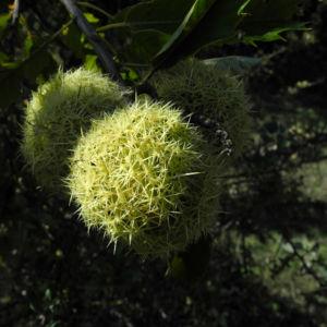Ess Kastanie Frucht braun gruen stachelig Castanea sativa 08