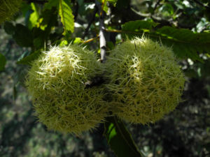 Ess Kastanie Frucht braun gruen stachelig Castanea sativa 09
