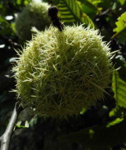 Ess Kastanie Frucht braun gruen stachelig Castanea sativa 10
