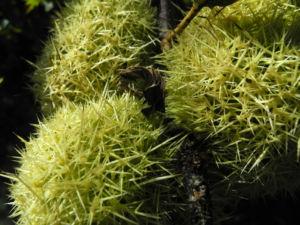 Ess Kastanie Frucht braun gruen stachelig Castanea sativa 12