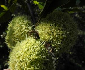 Ess Kastanie Frucht braun gruen stachelig Castanea sativa 13