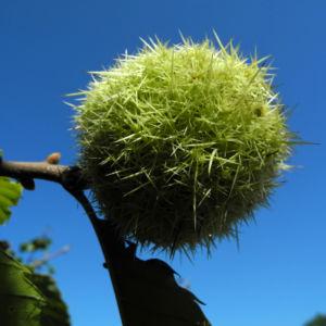 Ess Kastanie Frucht braun gruen stachelig Castanea sativa 15