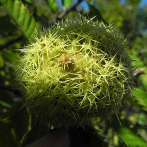 Ess Kastanie Frucht braun gruen stachelig Castanea sativa 19