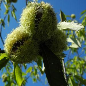 Ess Kastanie Frucht braun gruen stachelig Castanea sativa 20