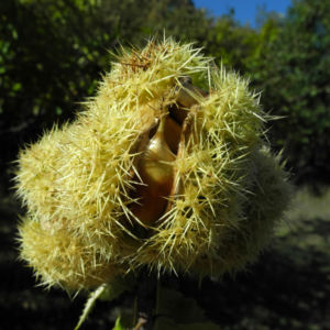 Ess Kastanie Frucht braun gruen stachelig Castanea sativa 22