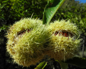 Ess Kastanie Frucht braun gruen stachelig Castanea sativa 23