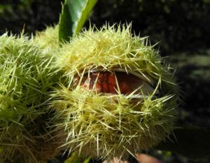 Ess Kastanie Frucht braun gruen stachelig Castanea sativa 24