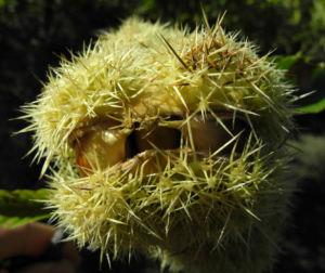 Ess Kastanie Frucht braun gruen stachelig Castanea sativa 25