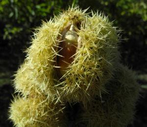 Ess Kastanie Frucht braun gruen stachelig Castanea sativa 26