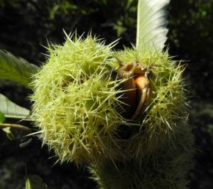 Ess Kastanie Frucht braun gruen stachelig Castanea sativa 28