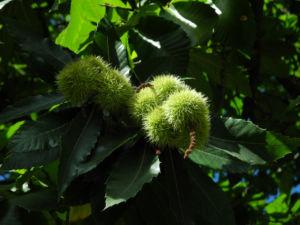 Ess Kastanie Zweig Frucht Blatt Castanea sativa 01