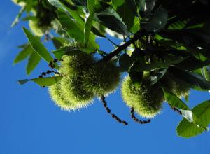 Ess Kastanie Zweig Frucht Blatt Castanea sativa 02