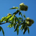 Bild: Esskastanie Frucht braun stachelig Castanea sativa